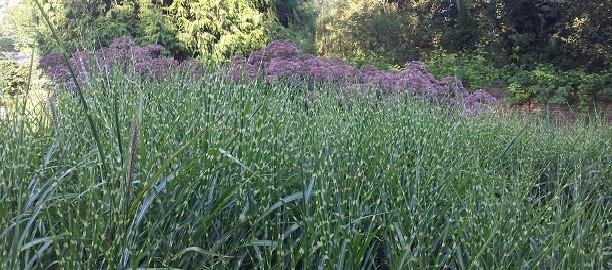 large herbaceous plant ideas