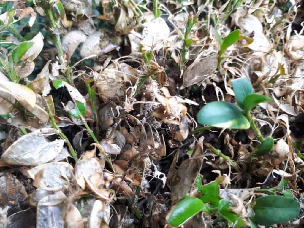 boxwood caterpillar moth damage