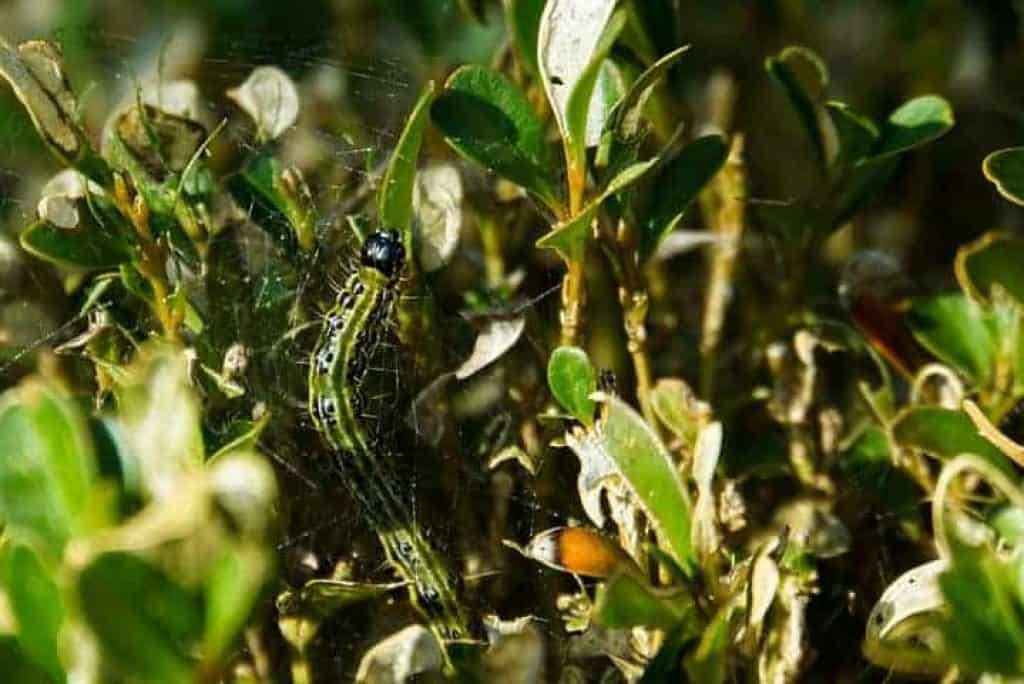 boxwood caterpillar moth