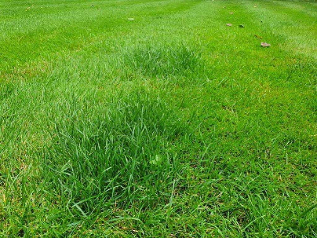 lawn fertiliser for dog urine