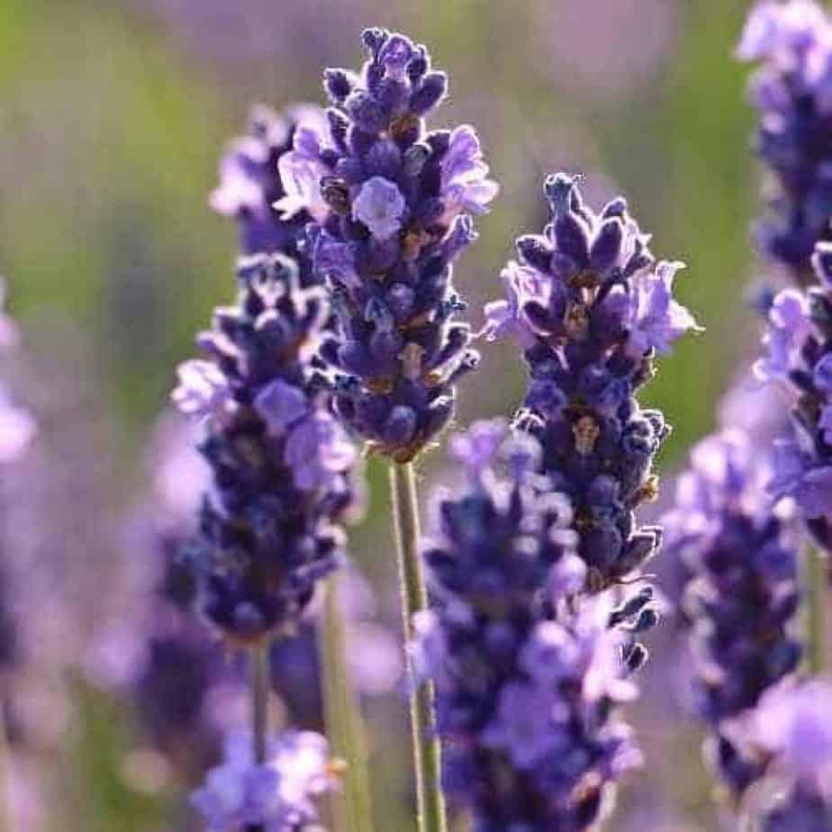pruning english lavender