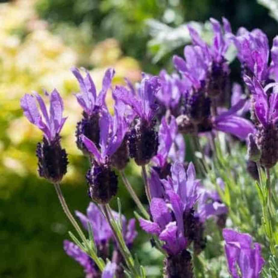 how to prune french and spanish lavender